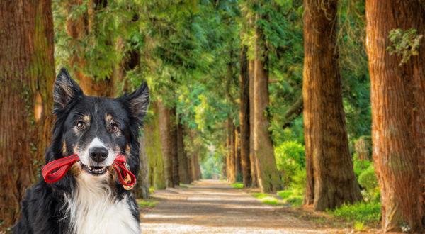 Hund im Wald mit Leine im Maul